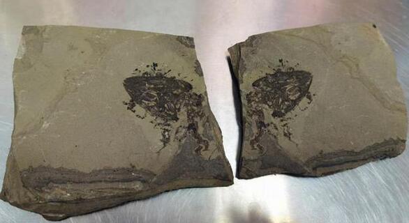 福州海关快件中查获侏罗纪化石(图)