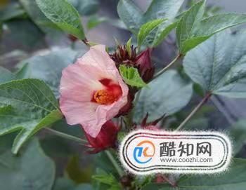玫瑰茄的功效与作用及食用方法